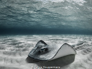 'Spectral' - A southern stingray on the sandbar off the c... by Tanya Houppermans