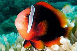 Red Nemo by Rudy Janssen