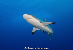 Grey reef shark photographed at Osprey Reef in April 2016. by Roxana Mclennan