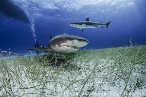 Calling all sharks!!!!! Shark Paradise off West End Bahamas by Steven Anderson