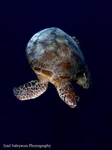 See Turtle by Iyad Suleyman
