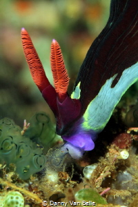 Nembrotha feeding on tunicate by Danny Van Belle