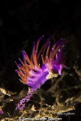 Nudibranch flabellina rubrolineata with eggs by Deniz Muzaffer Gökmen