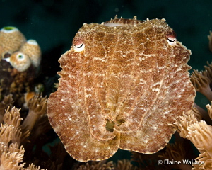 This curious cuttle fish, showed no adverse reaction to m... by Elaine Wallace