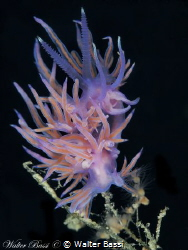 Flabellina affinis by Walter Bassi