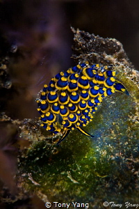 Sheep nudi by Tony Yang
