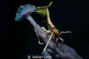 decorated spidercrab on sponge by Volker Lonz