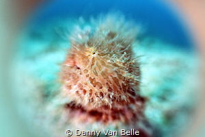 Experimenting on photo techniques. Hairy frogfish through... by Danny Van Belle