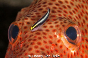 Grouper with companion by Danny Van Belle