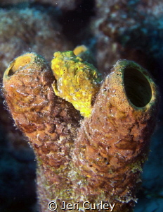 Bonaire, frogfish by Jeri Curley