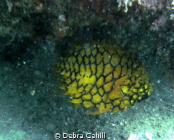 Pineapple Fish Little Beach Pt Stevens by Debra Cahill