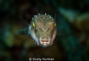 """""""Gotcha"""" Bandtail Puffer Fish by Dusty Norman"""