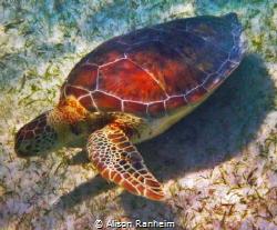 Grazing turtle, Akumal Bay by Alison Ranheim