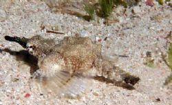 A Sea Moth taken in Gulf of Aqaba 105mm macro by Chris Kennedy