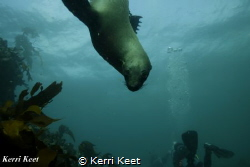 Playful Cape Fur Seal by Kerri Keet