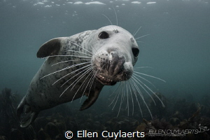 """""""Laugh or Cry"""" Gray seal by Ellen Cuylaerts"""