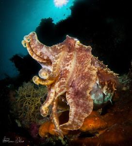 Very big Wakatobi Cuttlefish by Steven Miller