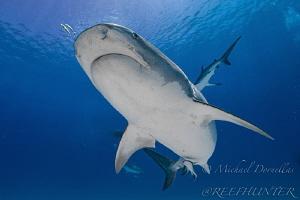 Tiger shark by Michael Dornellas