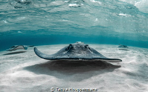 'On The Lowdown' - Southern stingrays glide just over the... by Tanya Houppermans