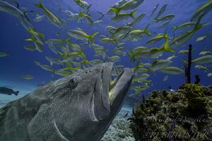black grouper by Michael Dornellas