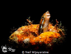 Juvenile Blenny by Neil Wijayaratne