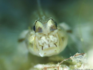 Bridled Goby (Coryphopterus glaucofraenum) by Brad Ryon
