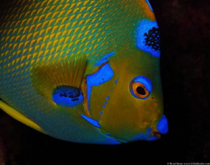 Queen Angelfish (Holacanthus ciliaris) by Brad Ryon