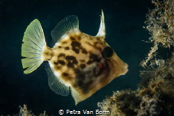Triggerfish by Petra Van Borm