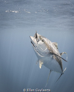Adult Yellowfin Tuna in Ascension waters by Ellen Cuylaerts
