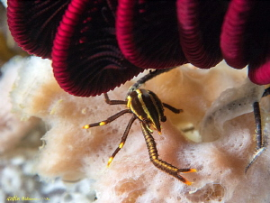 """Lefty"" a one-clawed squat lobster hiding under a crinoid... by Robin Bateman"