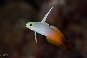 Dartfish. by Mehmet Salih Bilal