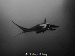 Manta Ray gliding through the water. Shot at Roca Partida... by Lindsey Mobley