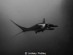 Manta Ray gliding through the water. Shot at Roca Partida... by Lindsey Mobley