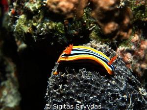 Nudibranch by Sigitas Sirvydas