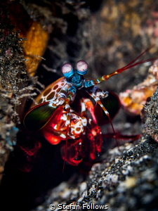 My place or yours ...  Peacock Mantis Shrimp - Odontoda... by Stefan Follows