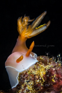 Hypselodoris sp. by Wayne Jones