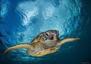 Honu is the Hawaiian name for Sea Turtle. by Tony Cherbas