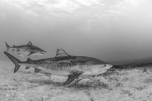 A striking pair, two tiger sharks display their unique ma... by Spencer Burrows