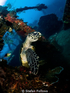 The Dude abides  Hawksbill Turtle - Eretmochelys imbric... by Stefan Follows