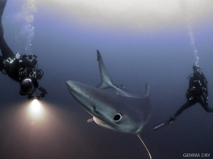 Blue Shark with divers by Gemma Dry