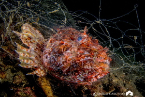 Scorpaena in the abandoned fishing net by Marco Gargiulo
