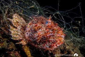 Scorpaena in the abandoned fishing net by Marco Gargiulo