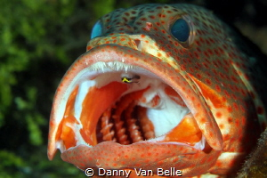 Grouper gets cleaned by Danny Van Belle
