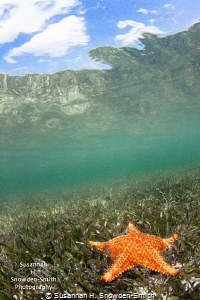 A brightly colored starfish rests on seagrass just below ... by Susannah H. Snowden-Smith