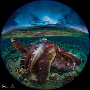 If you could coax a Cuttlefish up into the shallows of th... by Steven Miller