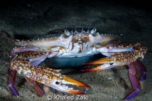 Crab - Night Dive  Qatar -South by Khaled Zaki