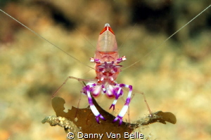 Shrimp head on by Danny Van Belle