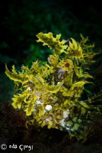 weedy scorpionfish (rhinopias frondosa)   by Eda Çıngı