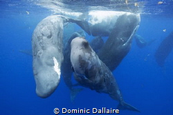 A pod of Sperm whales shedding their skins ! by Dominic Dallaire