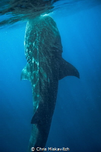 This whaleshark get perpendicular to the surface to feed.... by Chris Miskavitch